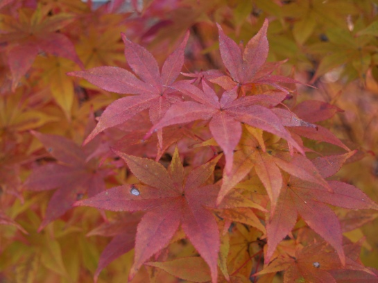 Japanese maple in early November