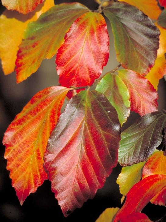 Autumn foliage of Parrotia persica