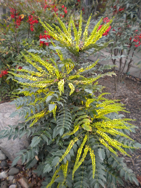 Winter's Sun mahonia in November