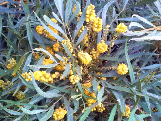 Soft Caress mahonia in October