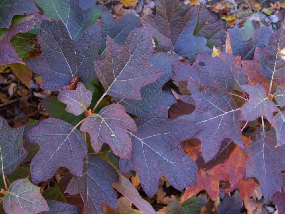 Oakleaf hydrangea in early November