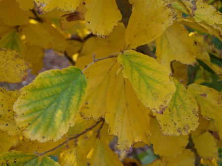 Vernal witch hazel in early November