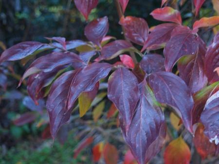 Celestial Shadow dogwood in November