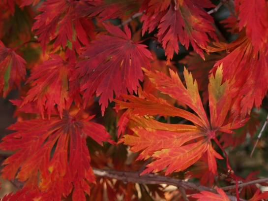 Fernleaf maple in early November