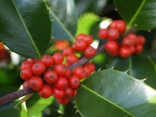 Berries on Koehneana holly in November