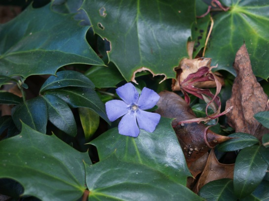 Periwinkle flowering in mid November