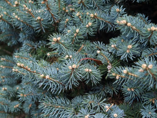 Globosa blue spruce