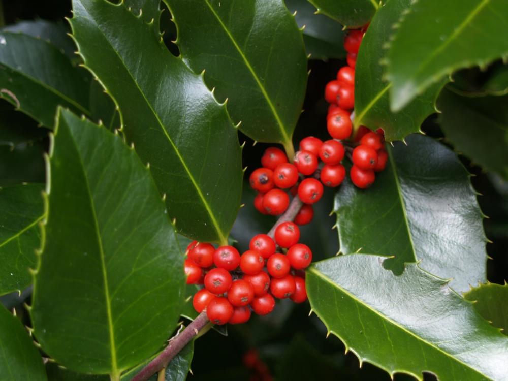Berries on Koehneana holly
