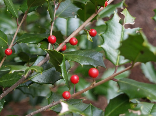 Scattered berries on a large American holly.
