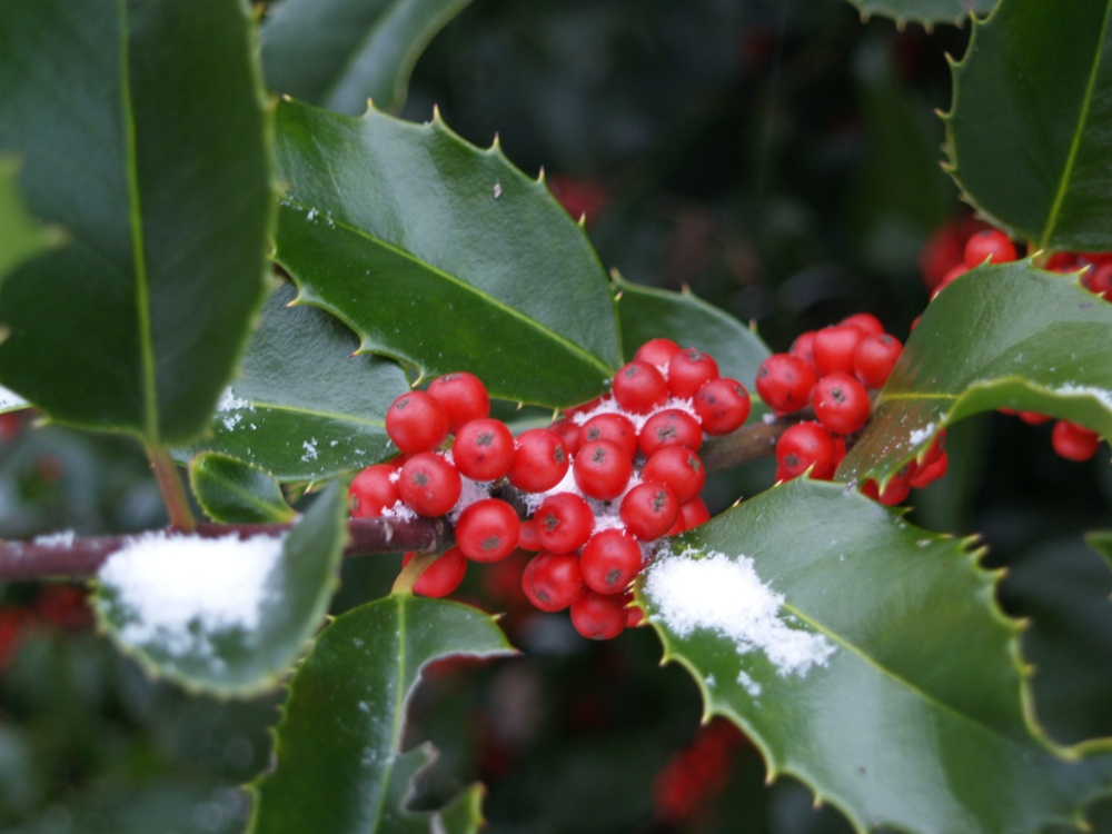 A dusting of snow on holly