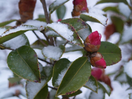 Snow on Winter's Joy camellia
