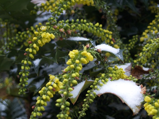 Snow on Winter Sun mahonia