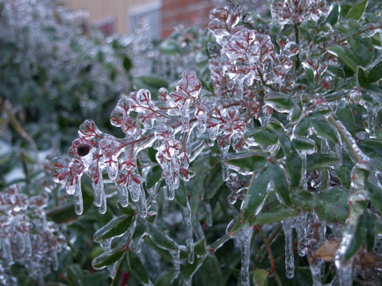 Icicles on nandina