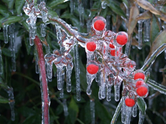 Nandina covered by ice