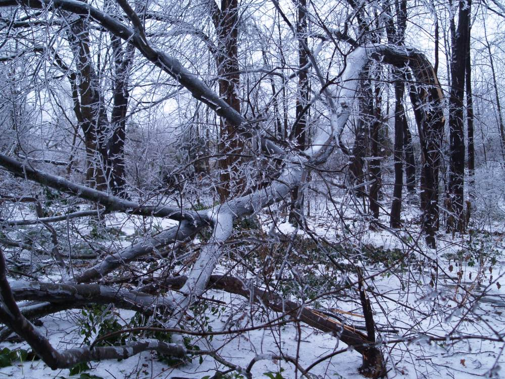 Maple damaged in ice storm