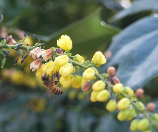 Honeybee on Winter Sun mahonia in December