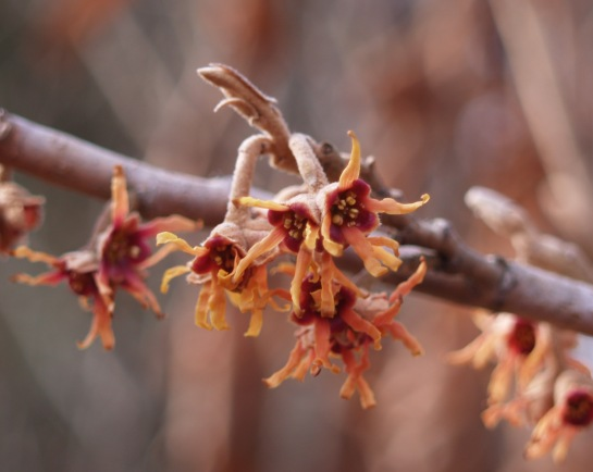 Vernal witch hazel flowers in January