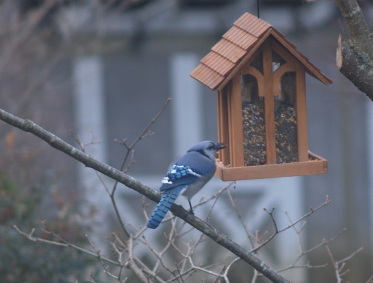 Blue Jay on the bird feeder