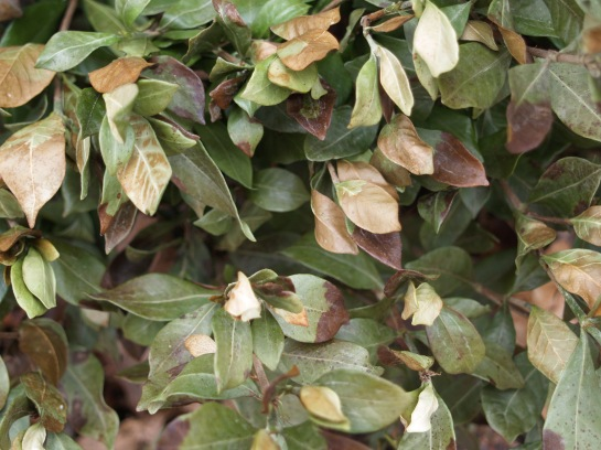 Brown leaves on a gardenia in February