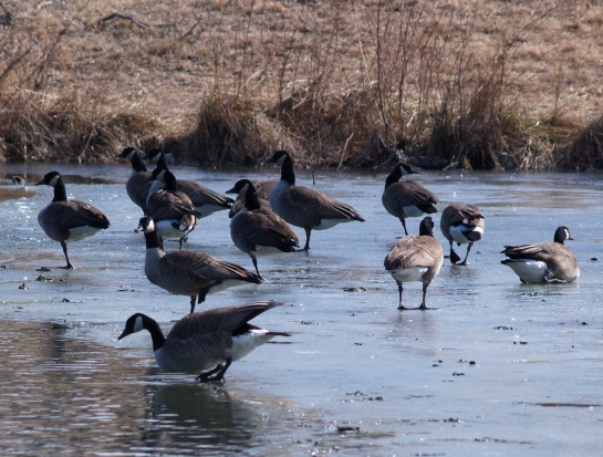 Canadian geese in the farm pond