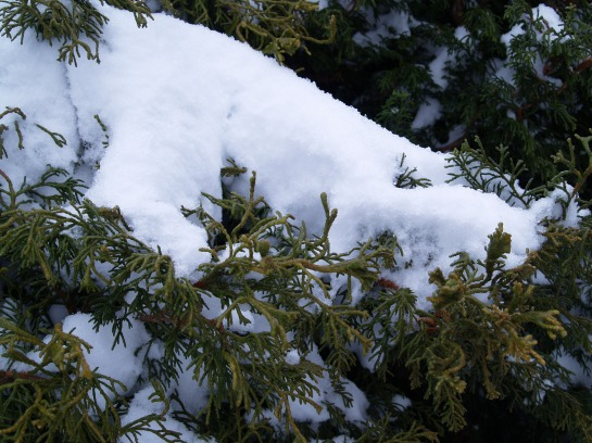 Snow covered Chamaecyparis obtusa 'Torulosa'