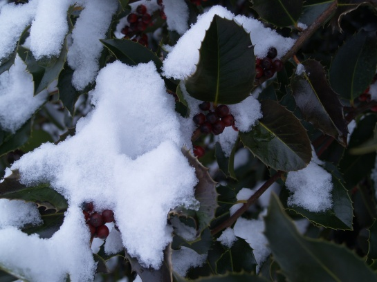 Snow covered Koehneana holly
