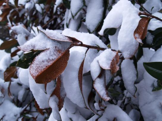 Brackens Brown Beauty magnolia undamaged by snow