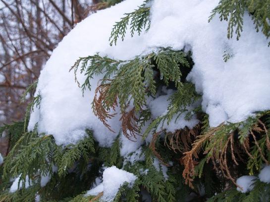 Golden Showers cypress in snow