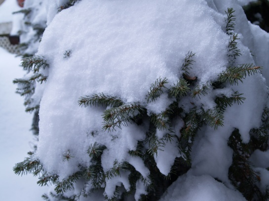Snow covered spruce in mid February