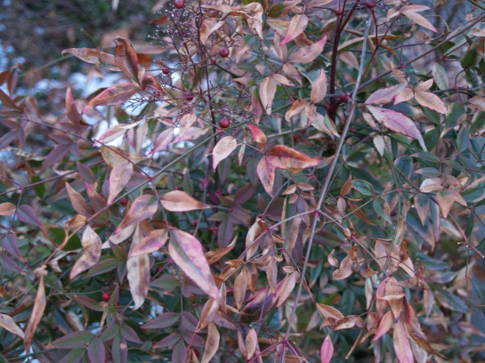 Brown foliage on nandina