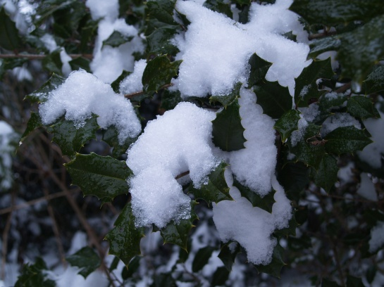 Snow covered American holly