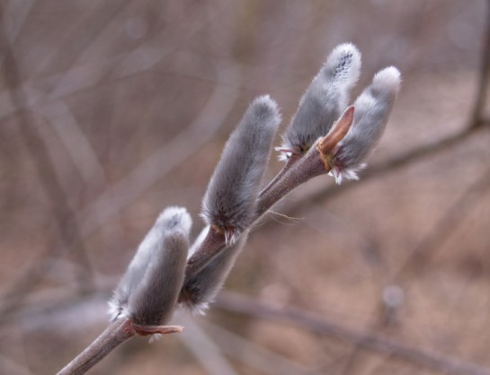 Pussy willow catkins in early March