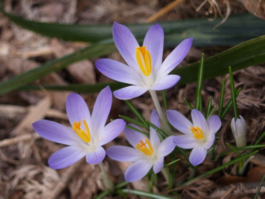 Crocus in mid March