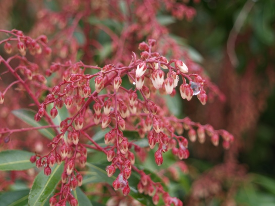 Pieris Scarlet O'Hara starting to flower in mid March
