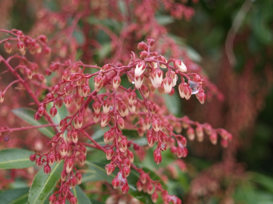 Pieris Dorothy Wycoff starting to flower in mid March