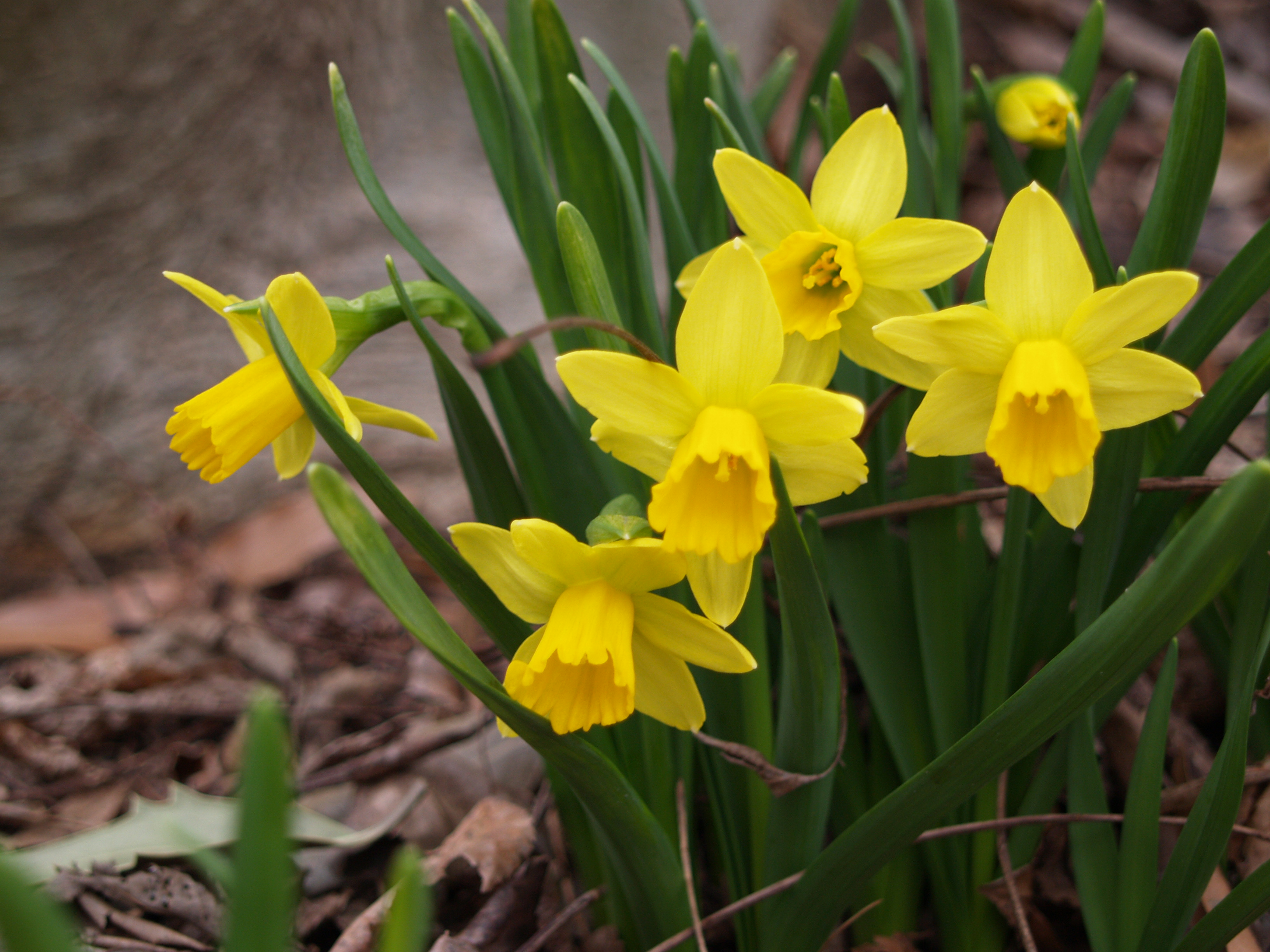 Spring bulbs ramblin 39 through dave 39 s garden - Flowers that bloom from spring to fall ...