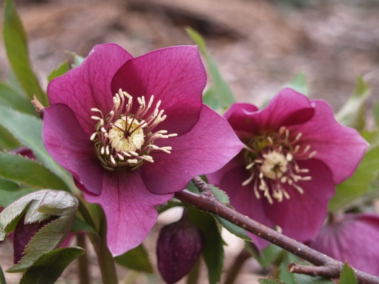 Hellebores in early April