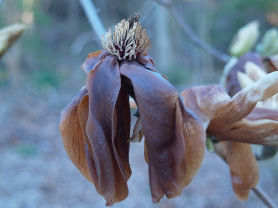 Flowers of Elizabeth magnolia after a freeze