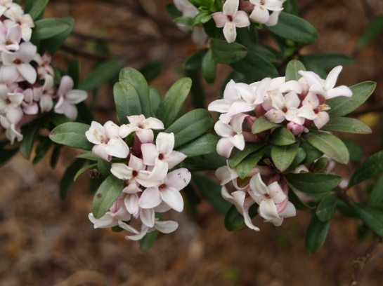 Eternal Fragrance daphne
