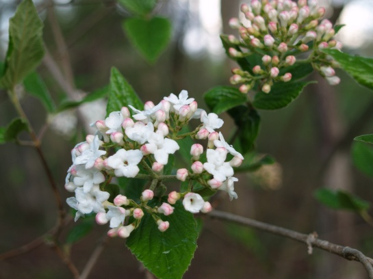 Burkwood viburnum in mid April