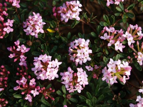 Rose daphne in mid April