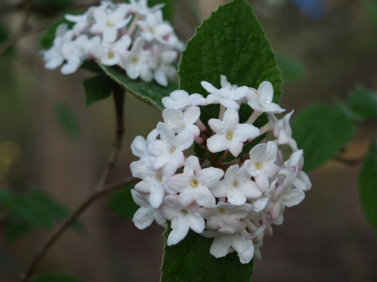 Korean Spice viburnum in mid April