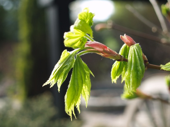 Emerging leaves on Japanese maple