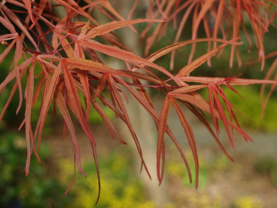 Linearolobum Japanese maple