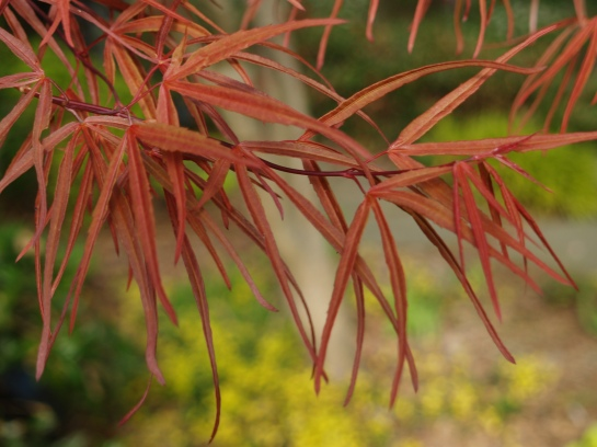 Red leafed Scolopendrifolium Japanese maple