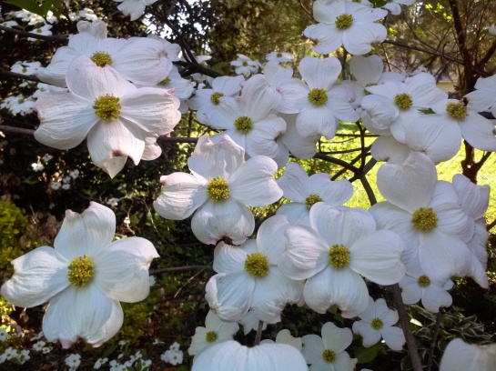 Dogwood in early May
