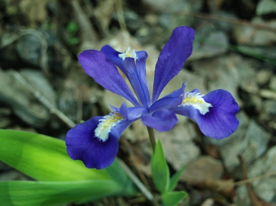 Iris reticulata in early May