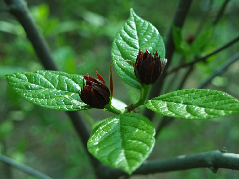 Sweetshrub in early May