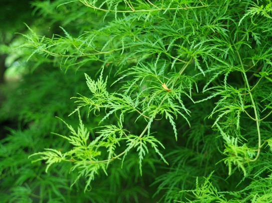 'Seriyu' maple has finely dissected green foliage. The tree grows to nearly twenty feet wide, and I can attest that it will grow even wider.