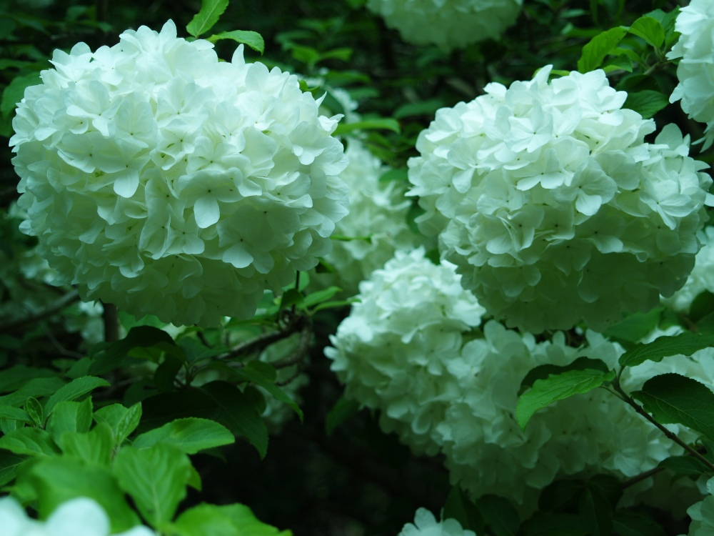 Chinese snowball viburnum in early May